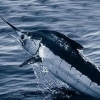 Billfish - Marlin, Swordys, Spearfish, Sails
